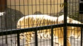 tigris : Tiger in the cage at the zoo. Slow motion footage