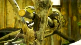 boa : Snake sitting on a branch in the terrarium at the zoo Stock Footage