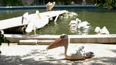 pelikán : Lots of pelicans at the zoo. Some are resting and some are swiming in the water becouse it is hot outside Dostupné videozáznamy