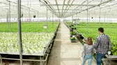 Aerial footage in a greenhouse with growing green salad and farmer pushing a cart.