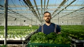 giardiniere : Farmer in a greenhouse walking with a box full of green salad. Hydroponics technology