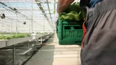 giardiniere : Agriculture worker in a greenhouse carry a box of green salad fresh harvested.