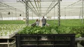 jardineiro : Farm working pushing a cart with organic green salad