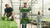 salata : Farm worker in a modern greenhouse harvesting green salad Stok Video