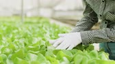 Close up of female farm worker inspecting green salad plants Stock Footage