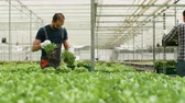 giardiniere : Farm worker harvesting organic green salad in a box Filmati Stock
