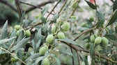 free country : Close up of wet olive tree branch in the country side.