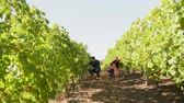 vinice : Caucasian couple harvesting grapes in a vineyard, slow motion footage