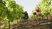 виноград : Slow motion footage of couple harvesting grapes in a vineyard