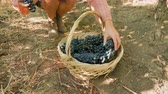 wijn druiven : Woman hands placing grapes in a basket, slow motion close up footage Stockvideo