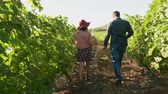wijn druiven : Couple with glasses of wine and a basket with grapes walking in a vineyard, slow motion shot