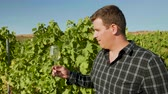 виноград : Man looking at a glass of wine in beautiful vineyard in warm sunlight, slow motion shot Стоковые видеозаписи