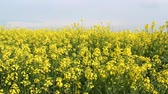 handheld : Oilseed rape flower fields at summer day;  steadicam
