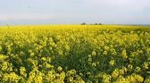 handheld : Oilseed rape flower fields at summer day; Stock Footage
