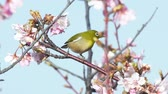 создание : Kawazu cherry blossom Japanese white-eye