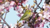 empoleirar : Kawazu cherry blossom Japanese white-eye