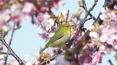 cherry blossom branch : Kawazu cherry blossom Japanese white-eye