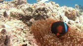 анемон : Diving in the Philippines near the island of Malapascua. Symbiosis of clown fish and anemones.