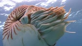 naufrágio : Diving on the reefs of the Palau archipelago. Great dive with amazing mollusks the Nautilus.