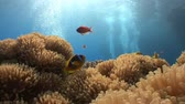 анемон : Symbiosis of clown fish and anemones. Diving in the Red sea near Egypt.