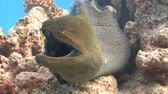 muraenidae : An angry giant Moray. Diving in the Red sea near Egypt. Stock Footage