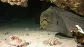 muraenidae : Giant moray. Night diving in the Red sea near Egypt. Stock Footage