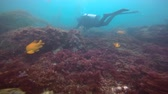 mysterious : A mysterious dip in the underwater gardens of kelp. Of the Pacific ocean. California. Stock Footage