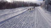 greyhound : The sled dog race. The Caucasian mountains. Russia. Stock Footage