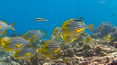 plectorhinchus : A gaggle of tropical fish sweetlips. Diving on the reefs near the Maldives.