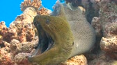 muraenidae : Giant Moray. Diving in the Red sea near Egypt. Stock Footage