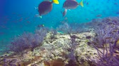 koraal : Fascinating scuba diving in the sea of cortez. Mexico.