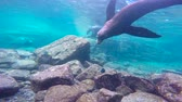 koraal : Fascinating underwater diving with sea lions in the sea of Cortez. Mexico.