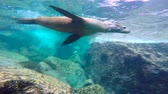 bemártás : Fascinating underwater diving with sea lions in the sea of Cortez. Mexico.