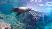 Лев : Fascinating underwater diving with sea lions in the sea of Cortez. Mexico.