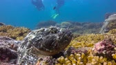 diver : Fish stone. Fascinating scuba diving in the sea of cortez. Mexico.