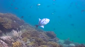diver : Triggerfish Fascinating scuba diving in the sea of cortez. Mexico. Stock Footage