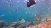 mergulho : Fascinating scuba diving in the sea of cortez. Mexico.