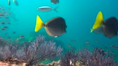 diver : Fascinating scuba diving in the sea of cortez. Mexico.