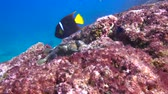 plunge : Pufferfish. Fascinating underwater diving in the sea of Cortez. Mexico. Stock Footage