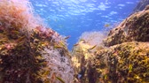 plunge : Fascinating underwater diving in the sea of Cortez. Mexico.
