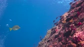 afgrond : Fascinating underwater diving in the sea of Cortez. Mexico.