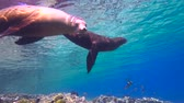 a : Fascinating underwater diving with sea lions in the sea of Cortez. Mexico.