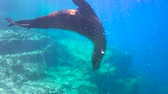 afgrond : Fascinating underwater diving with sea lions in the sea of Cortez. Mexico.