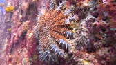 diver : Sea star. Fascinating underwater diving in the sea of Cortez. Mexico. Stock Footage