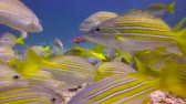 plunge : Lutianus campechanus. Fascinating underwater diving in the sea of Cortez. Mexico.