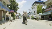 young elephants : CHITWAN, NEPAL - MARCH, 2018: Asian elephant walks on the street in city. Stock Footage