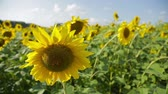 Sunflowers in a field_5 Stock Footage