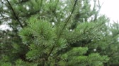 Pine tree with large needles