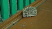 Little hedgehog in captivity Stock Footage