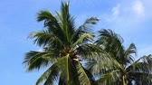 Coconut trees on a nature background with the wind blows all the time. No Sound.